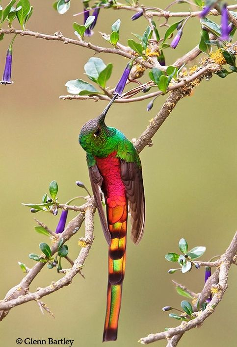 """""""Red-tailed Comet (Sappho sparganura)"""" by Glenn Bartley. Red-tailed Comet  is a medium sized hummingbird found in the central Andes, Bolivia and Argentina."""