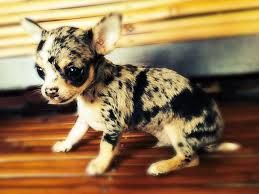 Image result for blue merle chihuahua