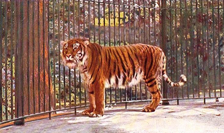 Caspian tiger (Panthera tigris virgata), also known as the Hyrcanian tiger and the Turan tiger, is an extinct tiger subspecies that had been recorded in the wild until the early 1970s, and used to inhabit the sparse forest habitats and riverine corridors west and south of the Caspian Sea, from Turkey, Iran and east through Central Asia into the Takla Makan desert of Xinjiang, China. There are no individuals in captivity. Turkey 1990s.