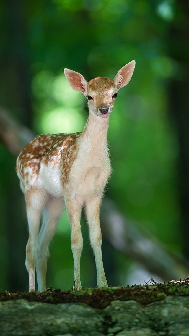 All sizes | deer_wood_views_57726_640x1136 | Flickr - Photo Sharing!