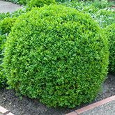 Boxwood Shrubs and Hedges for Sale - Brighter Blooms Nursery
