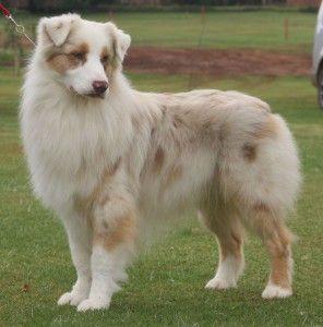 """Red merle Australian Shepherd Dog // Risingstar's No Flies on Me for Stavros """"Rum"""""""