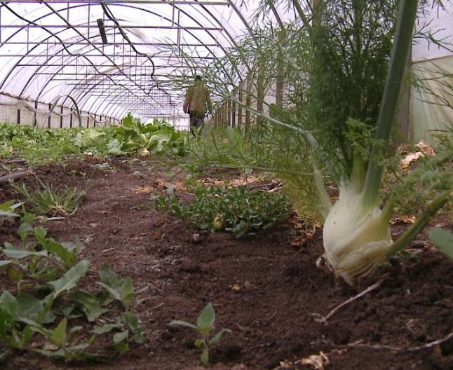 Feniculul, planta mediteraneană care iubeşte Bărăganul. Povestea fermierului specialist în cultivarea legumelor exotice | adevarul.ro