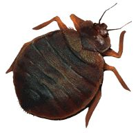 For Bed Bug control visit http://termitesvic.com.au/bed-bugs/
