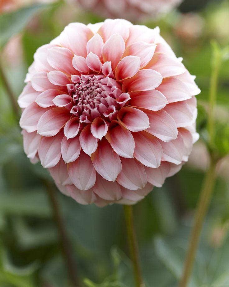 Pompon dahlia - Peaches - Oh Darling....es ist eine Dahlie! • Blumen & Pflanzen Blog • 99Roots.com