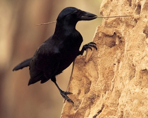 Tool-using New Caledonian crow (Corvus moneduloides)
