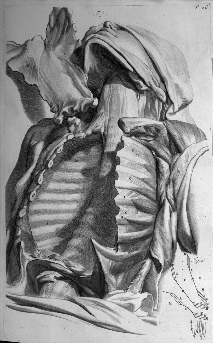 Réf. image : 02029 [Cage thoracique après retrait des viscères] Mots-clés : Anatomie. Dissection. Troncs. Thorax. Côtes. Colonne vertébrale. 17e siècle (Pays-Bas, France) . 17e siècle Auteur de l'ouvrage : BIDLOO, Govert Ouvrage : Anatomia humani corporis Edition : Amsterdam : Johann Someren, 1685 Cote : 000544 Dessinateur : Lairesse, Gérard de Graveur : Gunst, Pieter van Empl. de l'image : T. 26 Taille originale : 440 x 275 mm Technique : Gravure - Burin