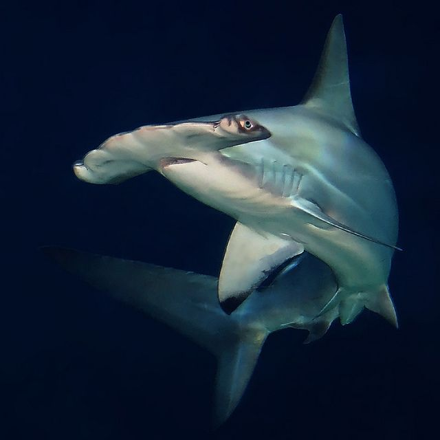 """Hammerhead sharks have flattened heads which extend either side, found mainly around the northern islands either in schools or alone."" Galápagos Wildlife www.bradtguides.com"