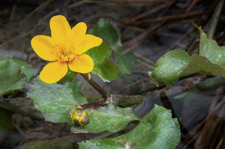 Bergfex_Tirol posted a photo:  Marsh marigold (caltha palustris), growing within the littoral zone of the lake Pillersee (Tyrol, Austria). Captured with wellingtons and a MARUMI-Achromat +3.  ~~~~~  Sumpfdotterblumen (caltha palustris) in der Uferzone des Pillersees (Tirol, Österreich). Aufgenommen in Gummistiefeln mit MARUMI-Achromat +3.