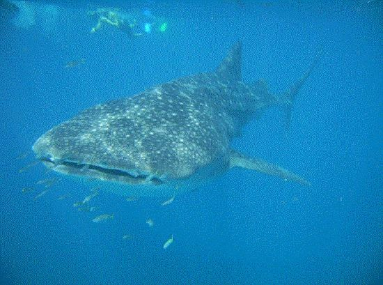 Saw one of these amazing creatures in Ningaloo Reef, W.A. More than awesome...