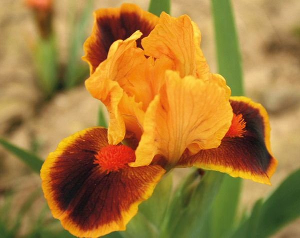 Iris 'Icon' - A dwarf bearded variety that reaches 8 inches, perfect for the front of a border.