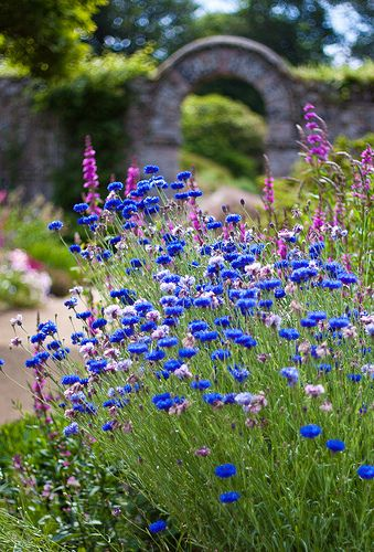 Cornflowers in a meadow - Read more about the herbal skincare properties of cornflower at www.herbhedgerow.co.uk