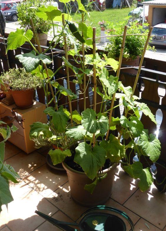 Gurken, so einfach wie genial in der Anzucht. Und sie fühlen sich pudelwohl im ausreichend großen Topf. Dies hier ist eine Pflanze, von der wir mehr als ein Duzend Gurken geerntet haben.