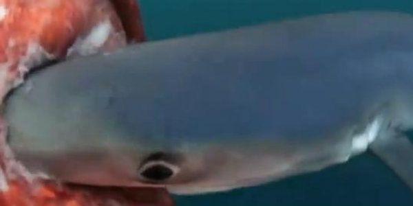 Vídeo flagra tubarão comendo lula gigante