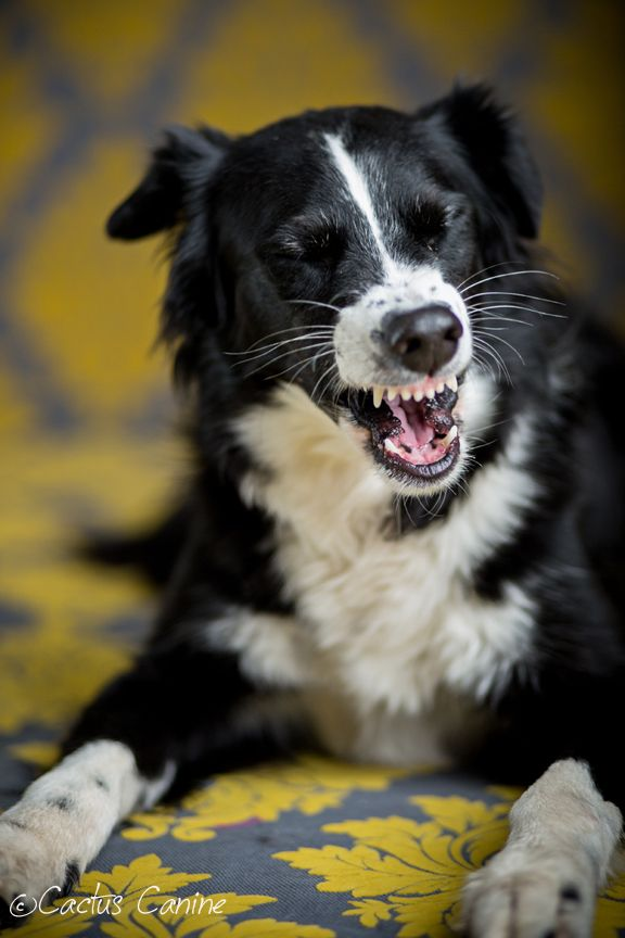 At least somebody laughs at my jokes.....This is Mint, the smiling Border Collie.