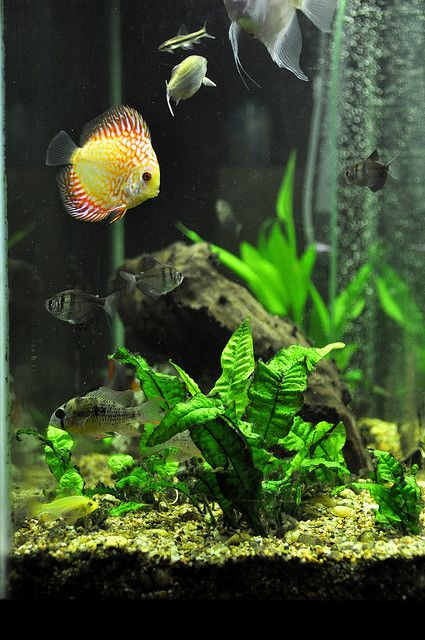 La grava adecuada nos ayuda a resaltar el color de nuestros peces. Sobre todo con peces Disco. https://www.boogiepetslandia.com/peces-gravas-para-peces-c-19_88.html