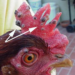 Avian Pox - COMMON Problem How To Treat Your Chickens For Avian Pox