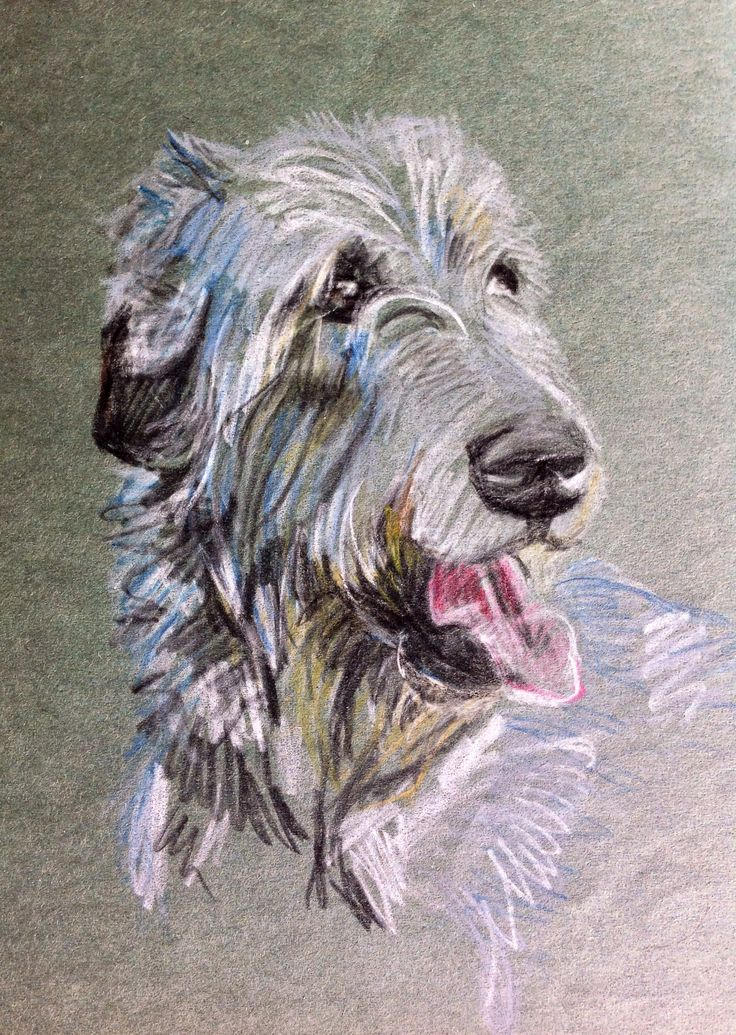 Irish Wolfhound. Water soluble pencil portrait by Sue Dickenson.