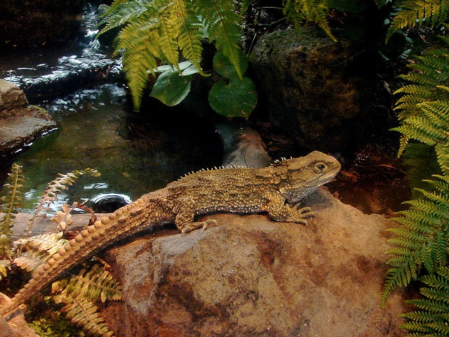 Tuatara: The living fossil of New Zealand    http://www.thelovelyplanet.net/tuatara-the-living-fossil-of-new-zealand/