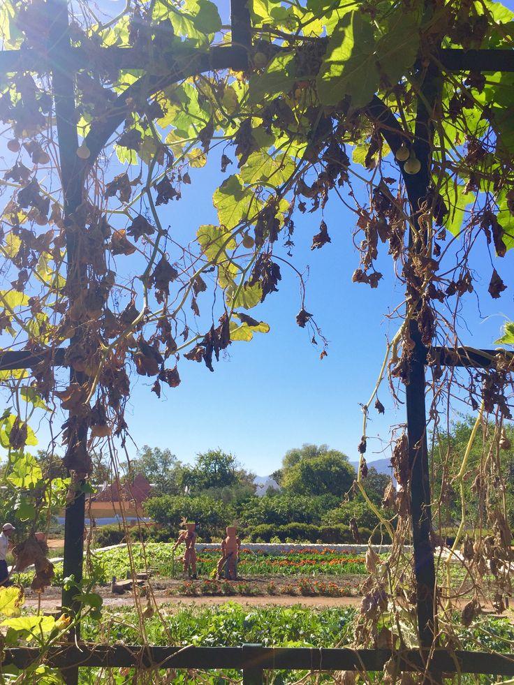 A sneak peak into one of their gardens. #GourmetAfrica #Babylonstoren #foodie
