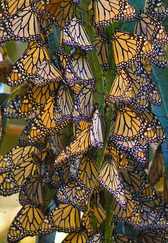Monarch Butterflies on annual migration