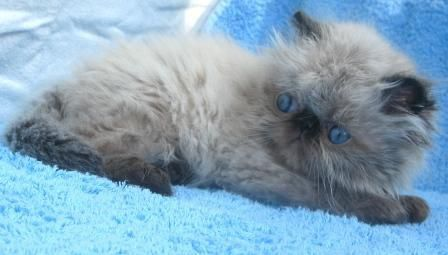 Baby Himalayan Kittens - 33 Pictures