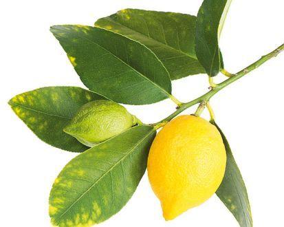 Aké vlastnosti bude mať citrónovník vypestovaný z odrezka?