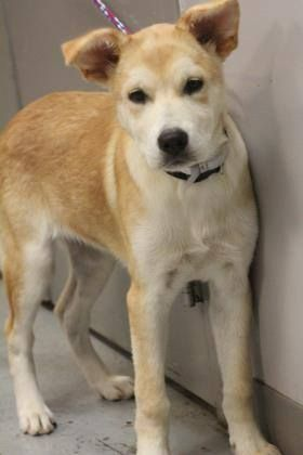 ADOPTED>NAME: Connie  ANIMAL ID: 35984582  BREED: husky/retriever mix  SEX: female  EST. AGE: 4 mos  Est Weight: 27 lbs  Health:  Temperament: dog friendly, people friendly  ADDITIONAL INFO: RESCUE PULL FEE: $35  Intake date: 7/20  Available: 7/26