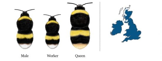 Common bumblebees | Bumblebee Conservation Trust
