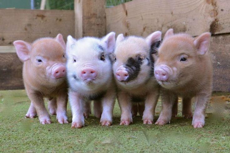 micro-mini-pigs-for-sale-petpiggies                                                                                                                                                     More