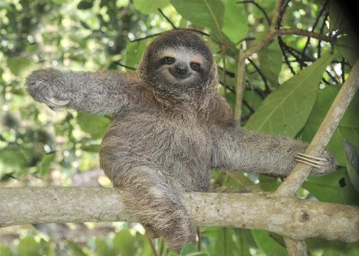 Sloth Smiling A sloth. just because.