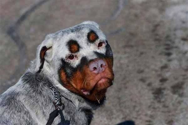 Rottweilers with Vitiligo - This Rottweiler is not albino. This is a disorder called Vitiligo or Leucoderma, also found in people. The fur looses it normal color due to altered process of melanin (pigment) formation or from destruction of melanin cells. Vitiligo is an auto immune disorder . The antibodies are fighting against it's own melanocytes. Notice the eyes, muzzel and parts of the body still have color. Emotional distress is a major triggering factor.