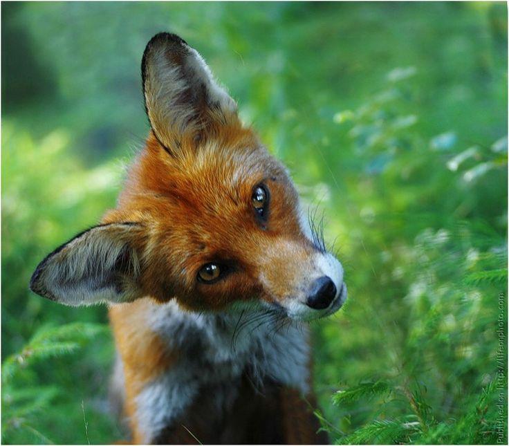 Картинки прикольной лисы