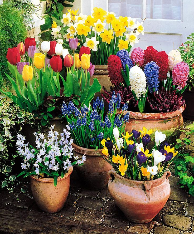 Tulips, crocus, hyacinth, daffodils...Place bulbs shoulder to shoulder across the surface of the soil, leaving no space between them. top off with more potting soil so the bulbs are just slightly below the surface. Water each container thoroughly. finish with a layer of mulch. Leave pots outdoors for winter chilling. The more exposure to cold the better they'll bloom.