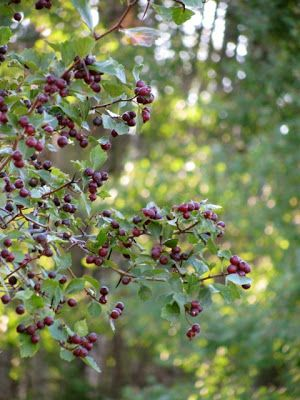Methow Valley Herbs: Hawthorne for This Little Heart of Mine