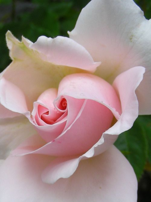 double center pink rose pretty flowers