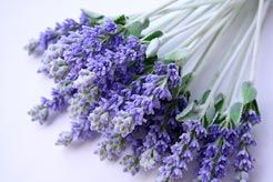 Lavendelerntezeit ist Ende Juli/Mitte August, das würde doch super zum Hochzeitstermin passen, oder?