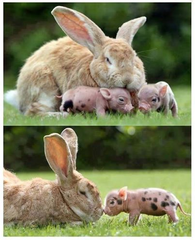 Flemish giant rabbit and piglet -just so cute
