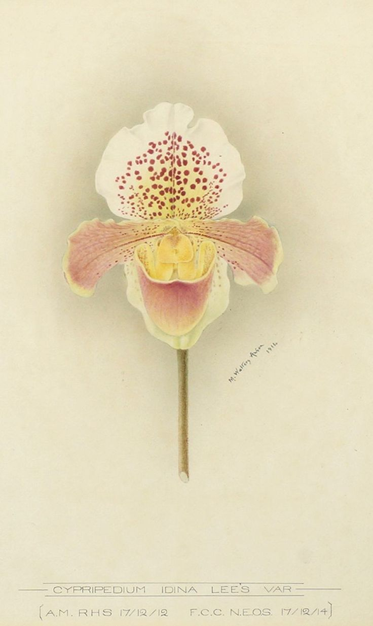 "Minnie Walters Anson (British, 1875-1959) - ""Cypripedium Idina Lee's Var""; watercolour, 36.4 x 26 cm. 1914."