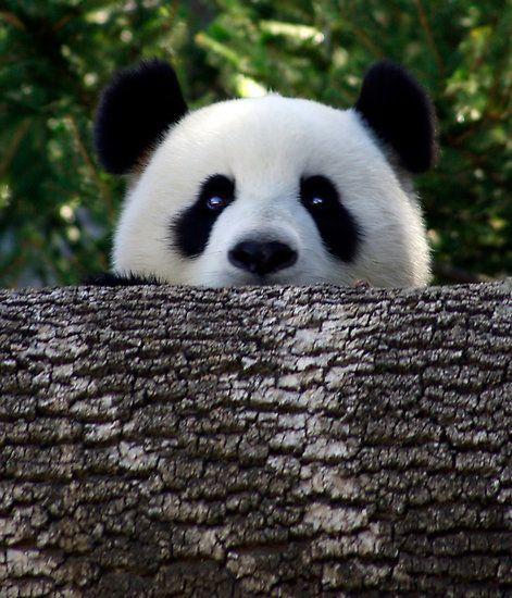 panda love Pandas Bears, Beautiful Animal, Peek A Boos, Giants Pandas, Creatures,  Ailuropoda Melanoleuca, Pandabear, Peekaboo,  Coon Bears
