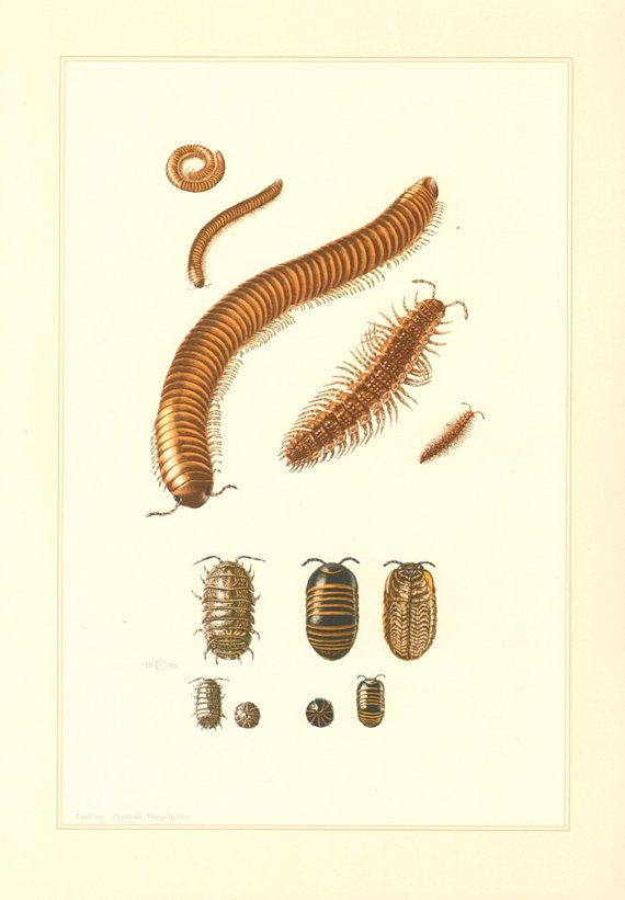1956 Millipedes and Pill-bugs Ophyiulus by CabinetOfTreasures