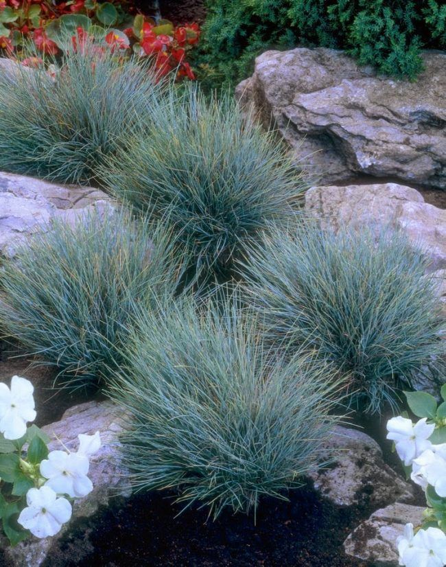 Pflanzen für Steingarten blauschwingel-Festuca-glauca-Blaufuchs