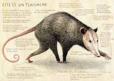 Tlacuache este animal tambien forma parte de su fauna en el estado de Coahuila Mexico