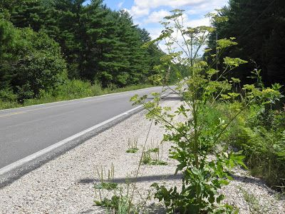 Watch out for this plant. Wild Parsnip can cause rash and blisters.