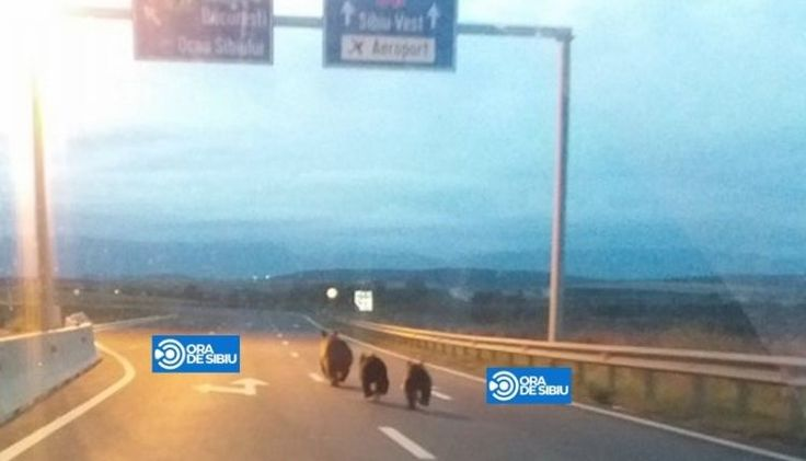 Unexpected users of motorway in Romania. Near to the town of Sibiu a mother bear with two cubs took a short cut to get faster to their desitnation. Luckily, there wasn't much traffic at this early hour.