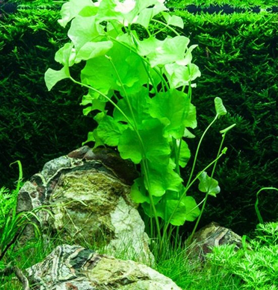 plante acvariu naturale Nymphoides Taiwan
