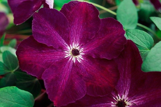 Clematis 'Night Veil'
