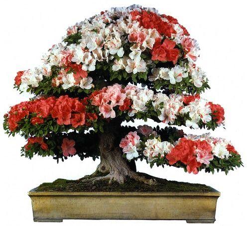 bonsaitoday:  Satsuki Azalea Rhododendron Indicum, Bonsai Today #65, Cover