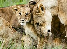Les lions dans Chad