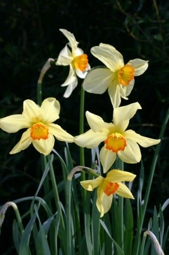 best flowers daffodils narcissus images narcissus baths flame